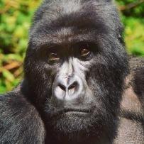 P-rwandagorilla